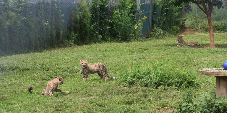4-month-old cheetah cubs at SCBI in their outdoor habitat.