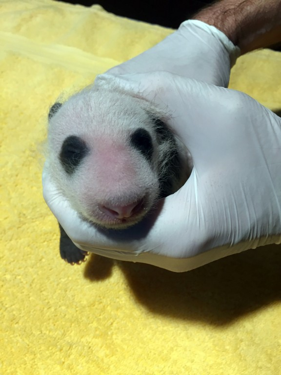 An animal keeper gently holds a 23-day-old giant panda cub with black-and-white markings, a thing layer of fur and its eyes still closed.
