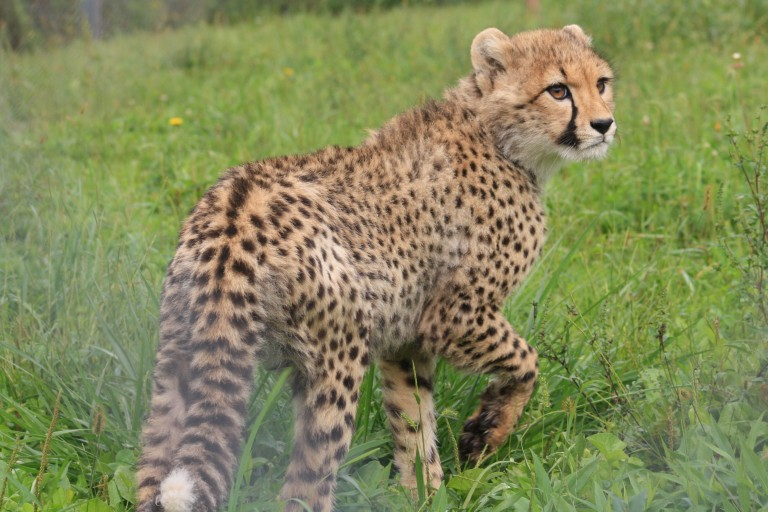 A five-month old cheetah cub explores its habitat at the Smithsonian Conservation Biology Institute.