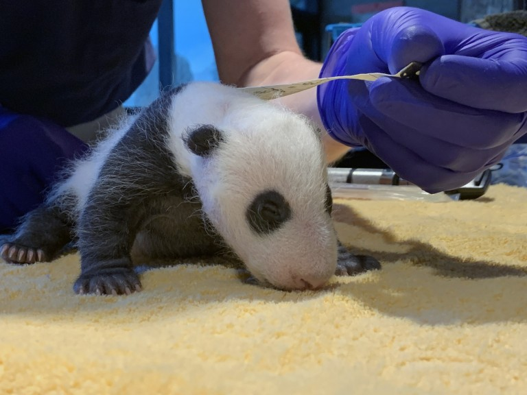 A veterinarian measures the length of a giant panda cub with a measuring tape. At about 1-month-old, the cub has a thin layer of black-and-white fur, tiny claws and eyes just beginning to open.