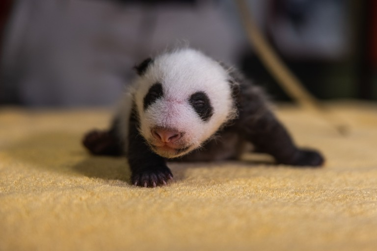 A 1-month-old giant panda cub with black-and-white markings, a thin layer of fur and small claws sits on a towel during a routine exam