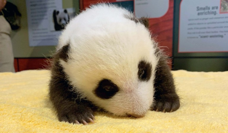 The giant panda cub's eyes are fully open!