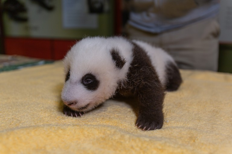 A 6-week-old giant panda cub with black-and-white markings, small claws and a light layer of fur rests on a yellow towel