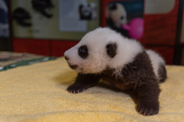A small giant panda cub with a light layer of black-and-white fur, little ears and small claws rests on a yellow towel during a routine exam.