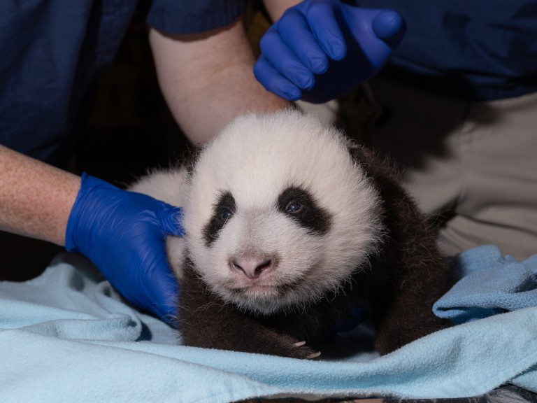 The Smithsonian's National Zoo's 2-month-old giant panda cub receives his second veterinary exam Oct. 19, 2020.