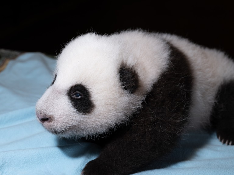 The Zoo's 2-month-old giant panda cub rests on a blue towel during a veterinary exam