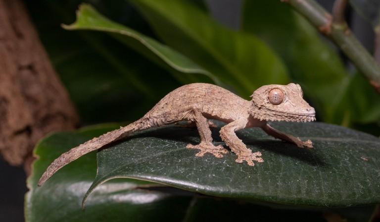 Henkel's leaf-tailed gecko hatchling