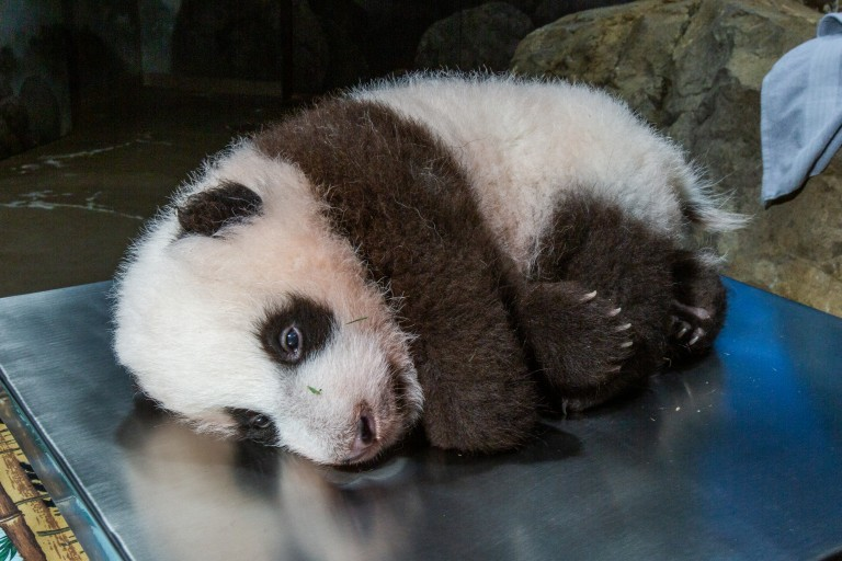 A young giant panda cub with black-and-white fur, round ears and small claws rests on a scale during a routine veterinary exam.