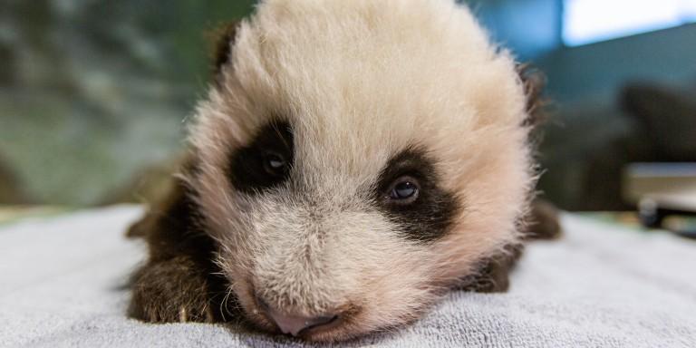 Giant panda cub at 10 weeks old.