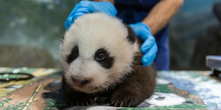 The Zoo's 11-week-old panda cub during his weekly keeper checkup.