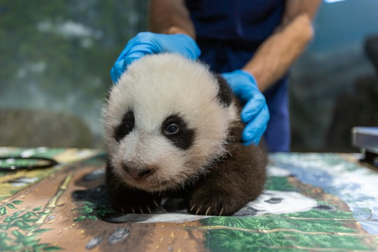 An animal keeper gently holds a young giant panda cub as it rests on a table during a routine exam. The cub has black-and-white fur, round ears and small claws.