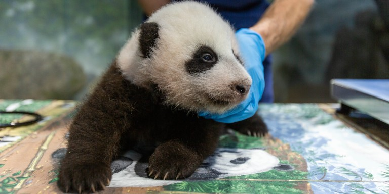 Giant panda cub at 11 weeks old on Nov. 9, 2020.