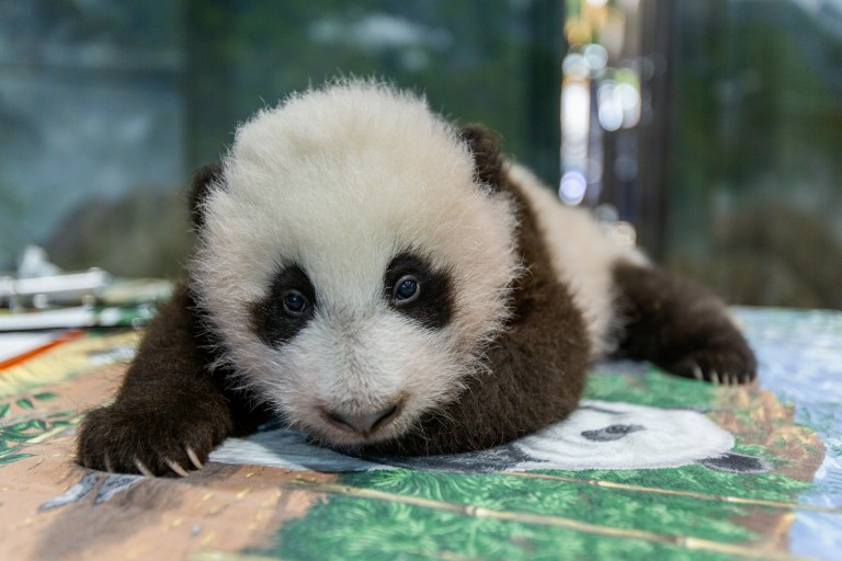 A young giant panda cub with black-and-white fur lays on a table during a routine exam.