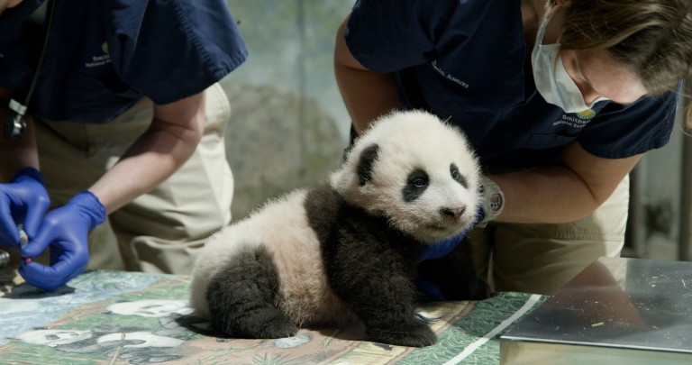 A young giant panda cub with black-and-white fur, round ears and small claws sits on a table as veterinarians exam him during a routine check up.