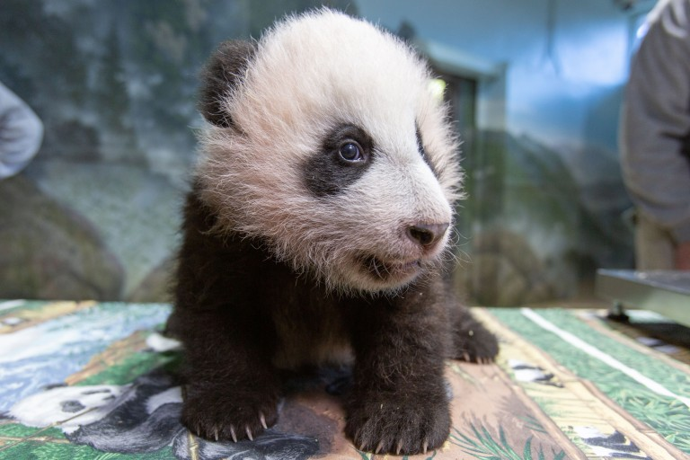 Three-month-old giant panda cub Xiao Qi Ji on Dec. 2, 2020 at Smithsonian's National Zoo.
