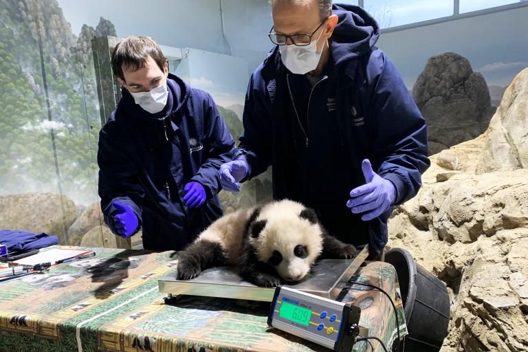 Dec. 11 | Veterinary technician Brad Dixon and chief veterinarian Dr. Don Neiffer weigh giant panda cub Xiao Qi Ji.