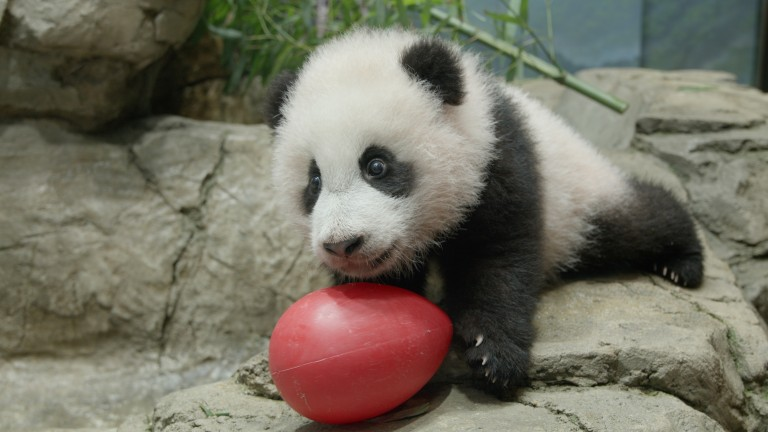 A young giant panda cub with black-and-white fur, round ears and large paws climbs on rockwork in his indoor habitat and paws at a red Jolly Egg toy.