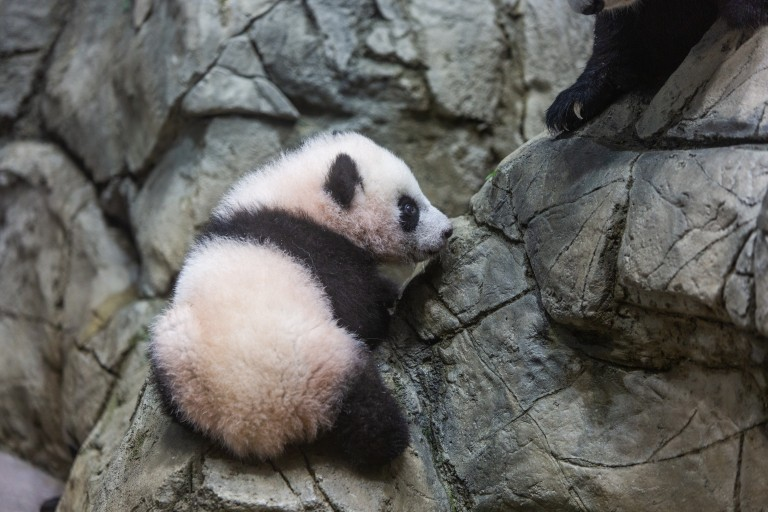 Giant panda cub Xiao Qi Ji carefully climbs on the rockwork in his indoor habitat. He has round ears, large paws with small claws, and black-and-white fur.