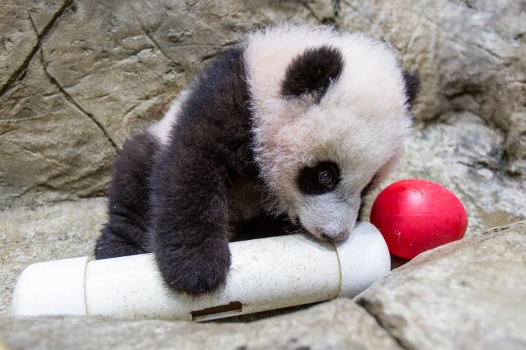 Giant panda cub Xiao Qi Ji gnaws on an enrichment puzzle feeder.