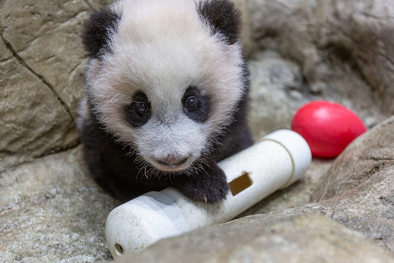 A young giant panda cub with black-and-white fur, round ears and large paws climbs on rockwork in his indoor habitat and paws at a red Jolly Egg toy and empty PVC puzzle feeder.