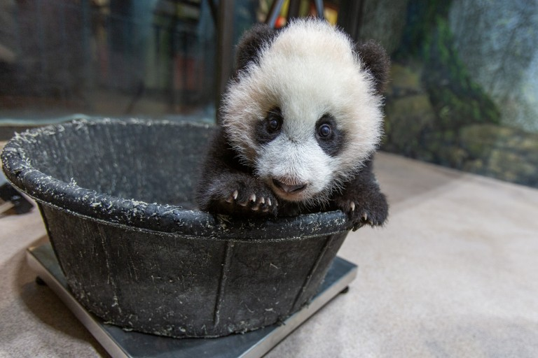 A young giant panda cub with black-and-white fur, round ears and large paws stands in a tub placed on top of a scale, so keepers can record his weight.