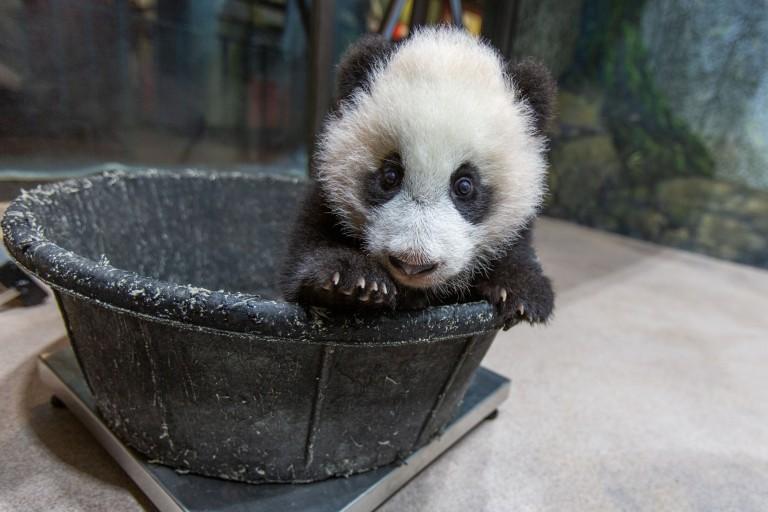 Giant panda cub Xiao Qi Ji is weighed in a tub Jan. 6, 2021.