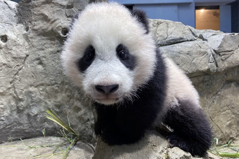 Giant panda cub Xiao Qi Ji climbs the rockwork in his habitat on Jan. 14, 2021.