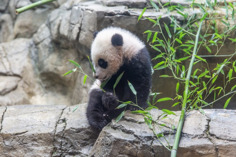 Jan. 27 | Giant panda cub Xiao Qi Ji is beginning to sample new foods, including bamboo, sweet potatoes and nutrient-fortified biscuits.