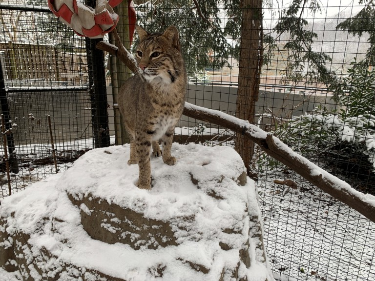 Bobcat in the snow at Smithsonian's National Zoo