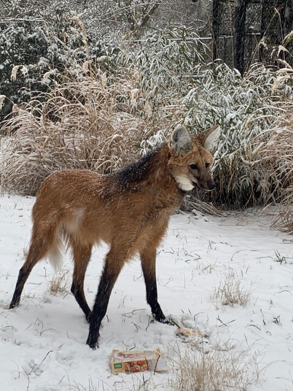 A maned wolf standing in the snow