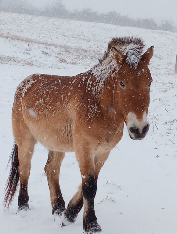 Przewalkski's horse in the snow at the Smithsonian Conservation Biology Institute