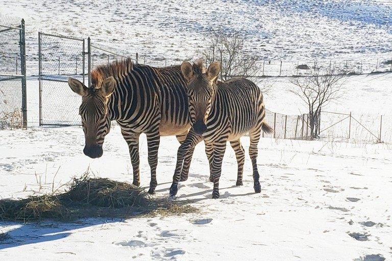 Hartmann's mountain zebra Mackenzie and her son Yipes in the snow.