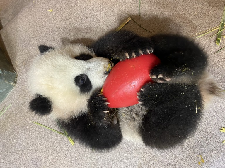 Five-month-old giant panda cub Xiao Qi Ji lays on his back and licks cooked sweet potato off an enrichment toy cradled in his arms.