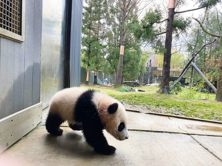 Giant panda cub walks along the sidewalk of his outdoor habitat, next to the grassy yard.