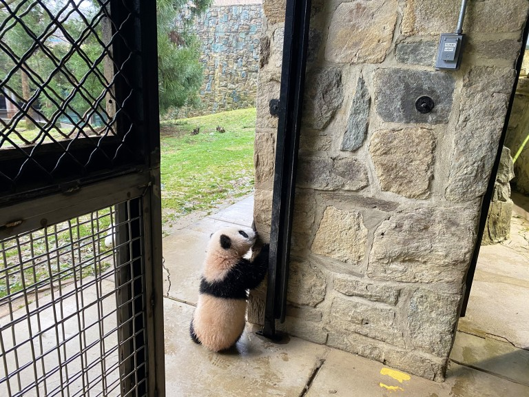 Giant panda cub Xiao Qi Ji stands on his hind legs and sniffs the stone wall of the panda house, as he explores outside for the first time.