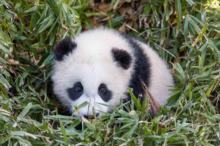 Giant panda cub Xiao Qi Ji laying down in the tall grass in his outdoor habitat.