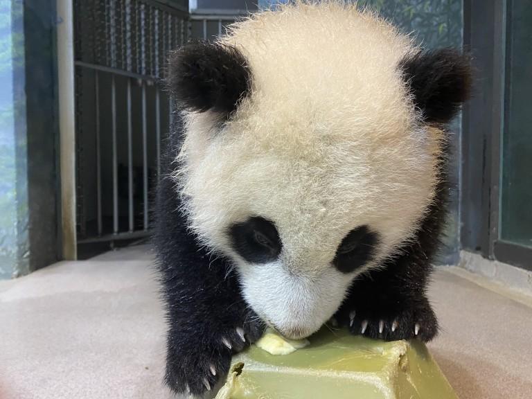 Giant panda cub Xiao Qi Ji licks banana off of a green enrichment toy.