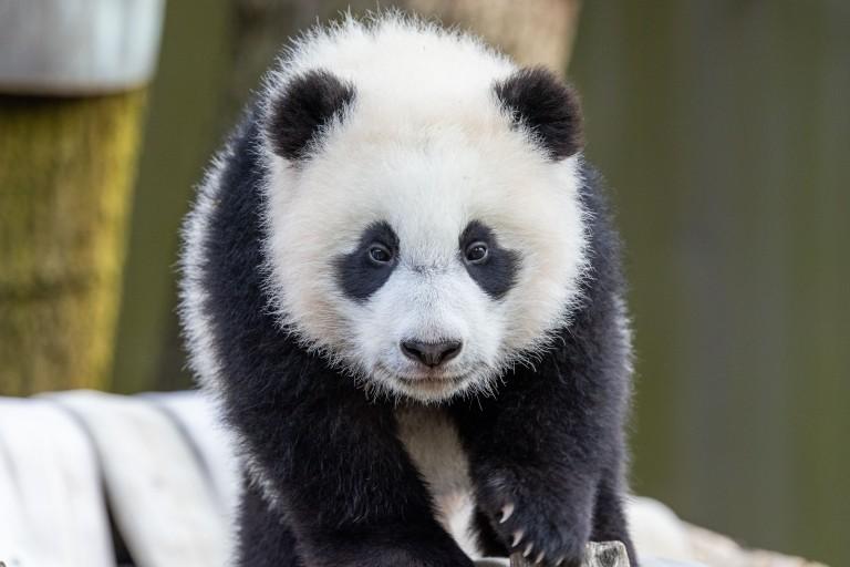 Giant panda cub Xiao Qi Ji walks across his hammock face-forward.