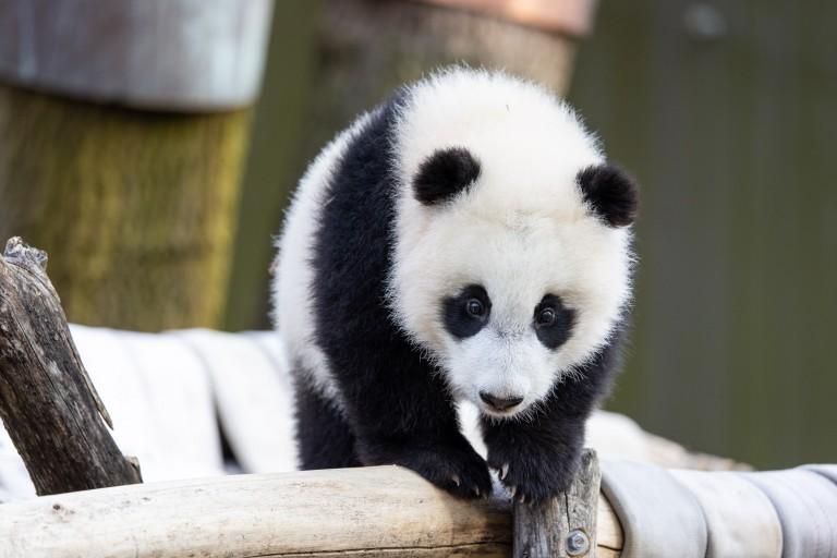Giant panda cub Xiao Qi Ji stands atop the hammock in his outdoor habitat.