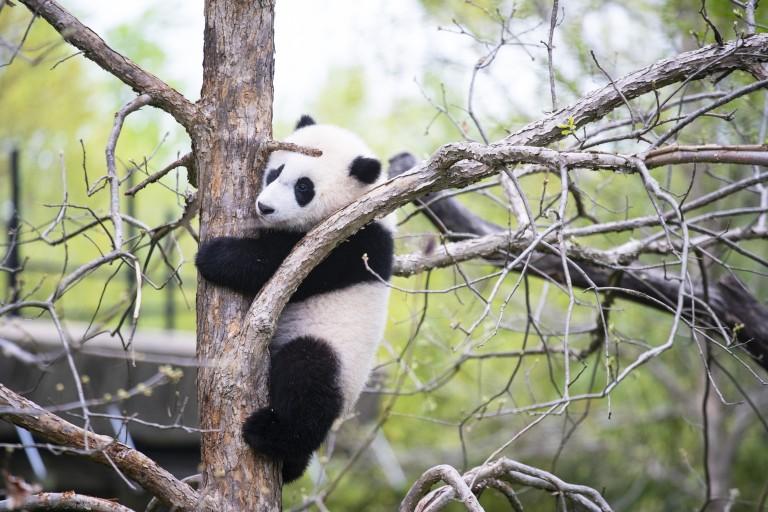 Giant panda cub Xiao Qi Ji climbs a tree trunk with a lot of branches surrounding him