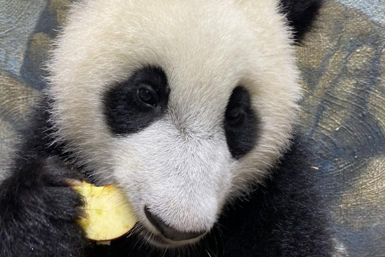 Giant panda cub Xiao Qi Ji eats an apple.