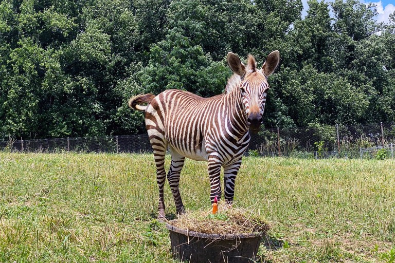 """Hartmann's Mountain Zebra Yipes celebrates his first birthday with a """"cake"""" made of hay, grass, browse, carrots and apples."""