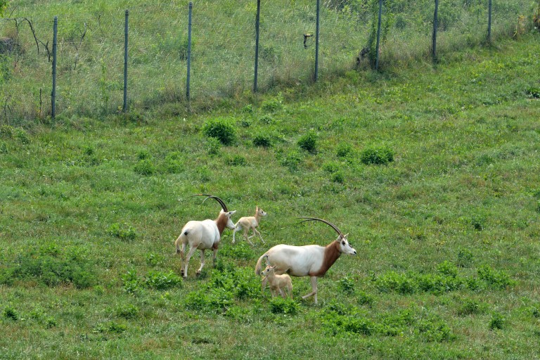 Two scimitar-horned oryx calves frolic in a pasture with adult oryx nearby.