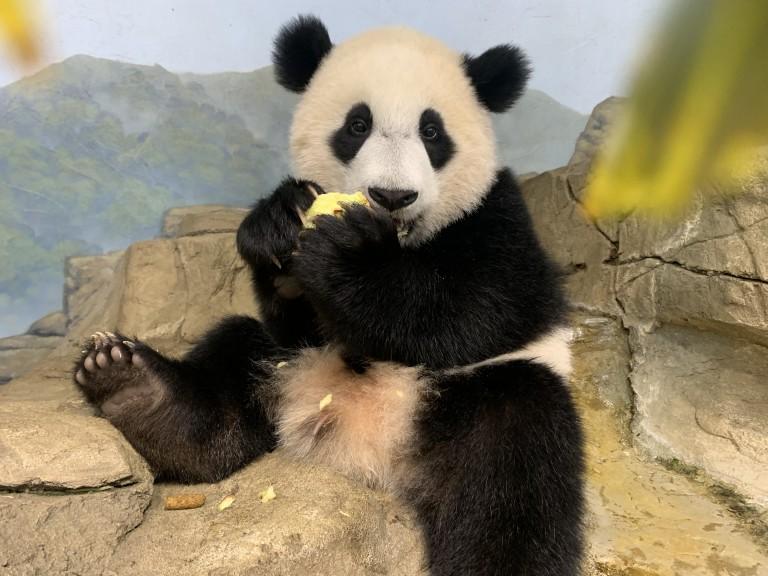 Giant panda cub Xiao Qi Ji sits on a rock eating an apple in his indoor habitat