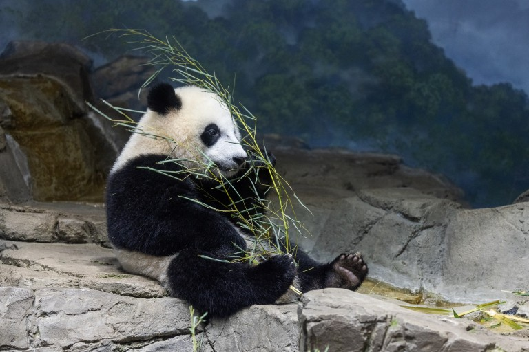 Giant panda cub Xiao Qi Ji sits on rockwork indoors eating a leafy branch