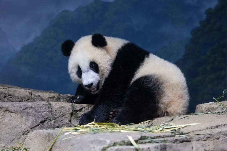 Giant panda cub Xiao Qi Ji stands on rockwork indoors with some pieces of browse (leafy branches) on nearby rocks