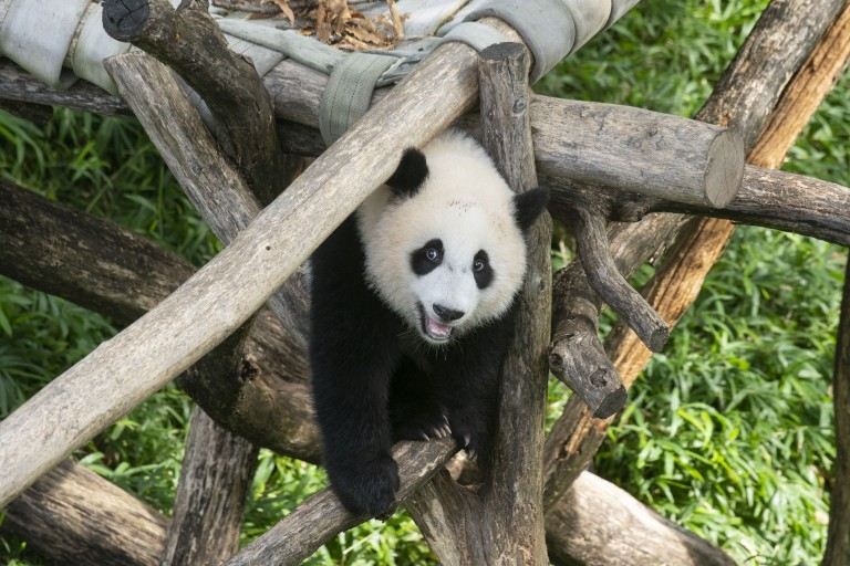 Giant panda cub Xiao Qi Ji stands on the wooden play structure, looking at the viewer.