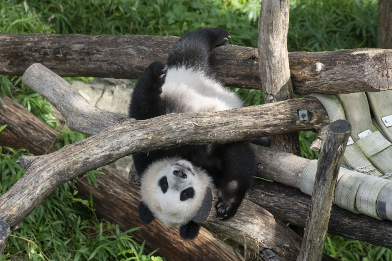 Giant panda cub Xiao Qi Ji holds onto the wooden play structure, upside-down