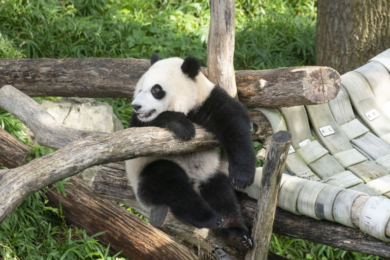 Giant panda cub Xiao Qi Ji holds onto the wooden play structure, sitting up and looking to the left