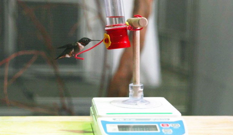 Ruby-throated hummingbird Spot sits on a feeder atop a scale.